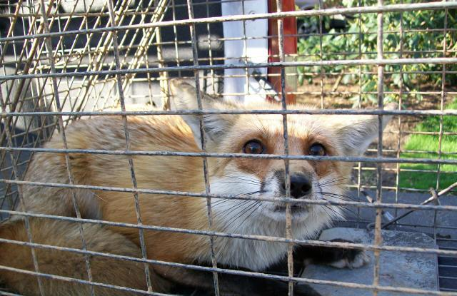 fox trapping removal md dc va