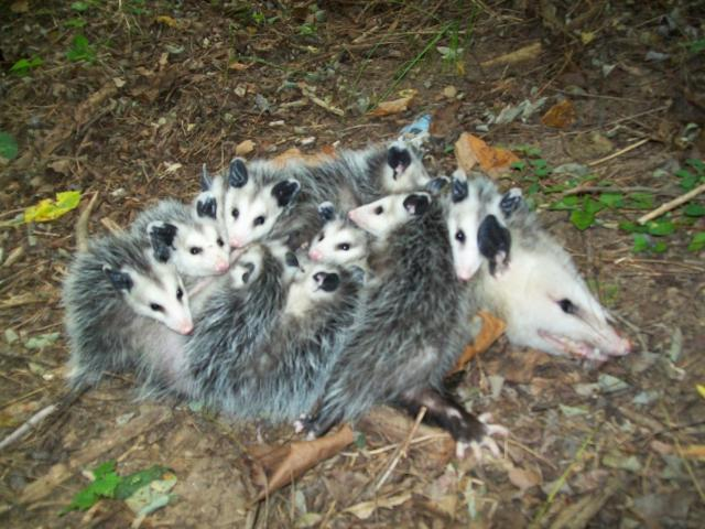 opossum trapping removal md dc va