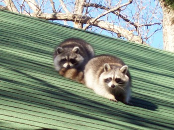 Annapolis MD Raccoon Removal