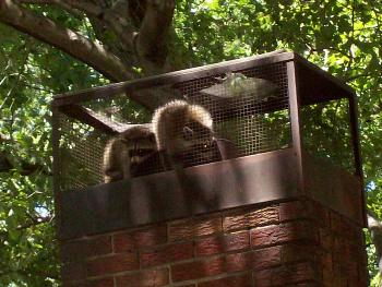 Trappro Chevy Chase Maryland Raccoon Removal Animal