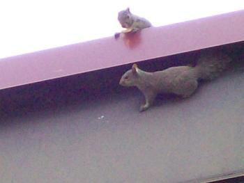 Trappro Pasadena Maryland Squirrel Removal Animal