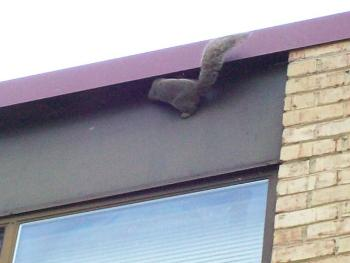 Squirrel Trapping on roof in Pasadena Maryland