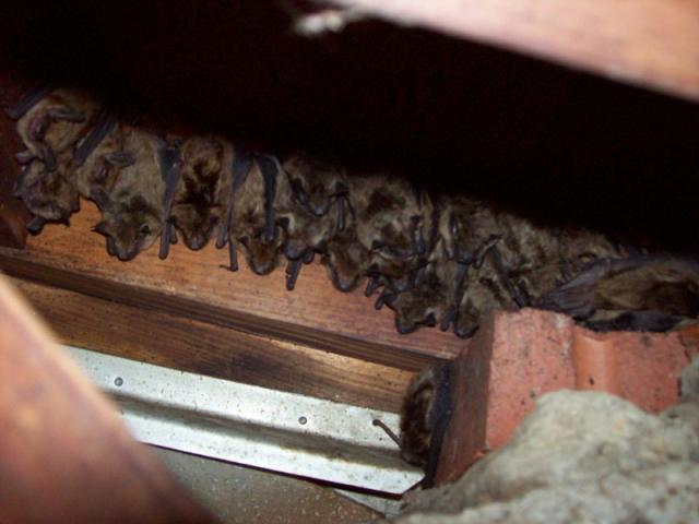 Bat Tring Removal Md Dc Va Bats Roosting In Attic Of Home